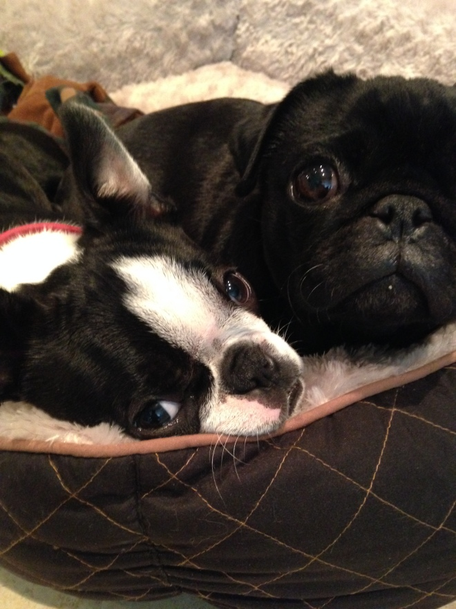 Cute Boston terrier is snuggling up to a little black pug