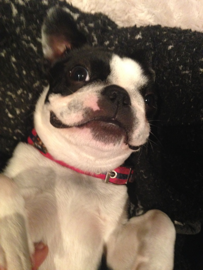 Young Boston Terrier on her back smiling