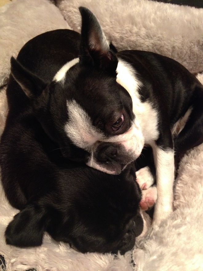Cute Boston Terrier cuddling up to a little black pug
