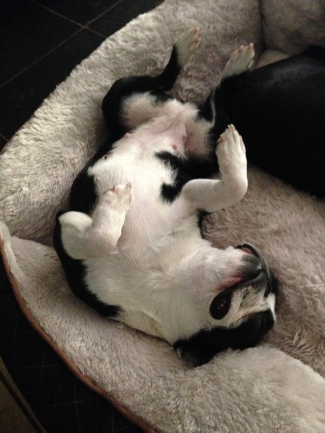 Cute Boston Terrier is sleeping on her back