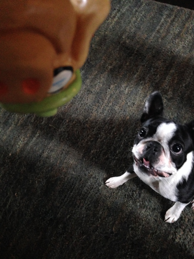 Playful cute Boston Terrier