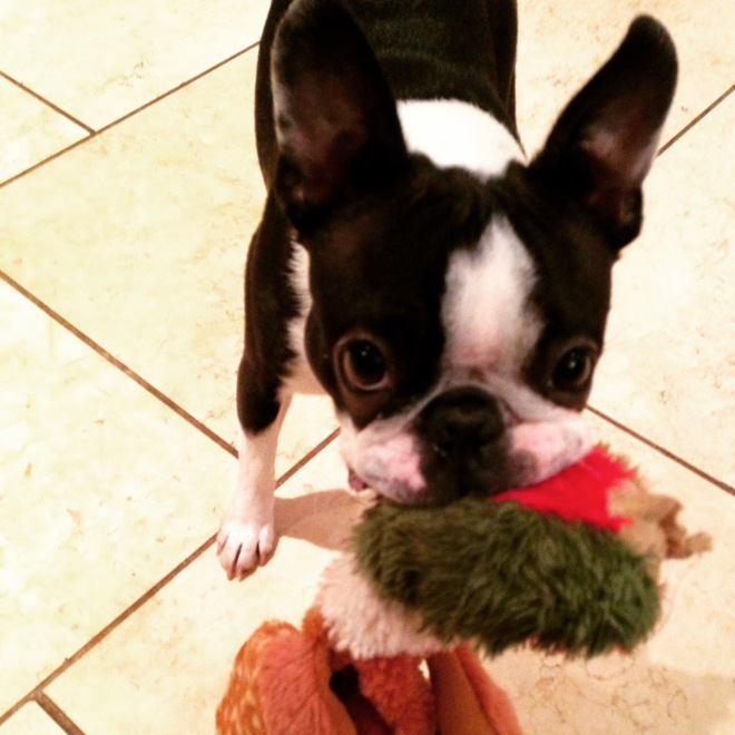 Playful Boston terrier with a toy in her mouth