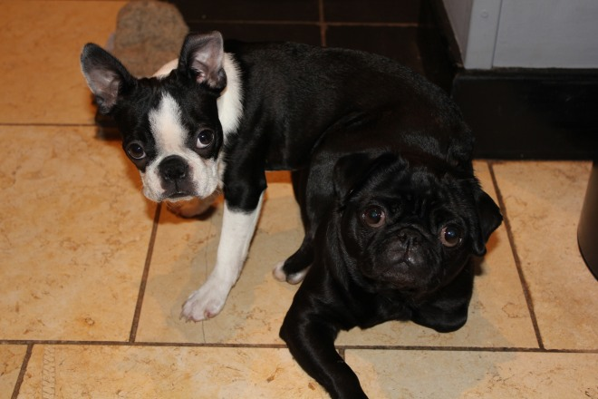 Cute Boston terrier sitting on a black pug