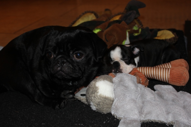 Boston Terrier puppy gathers her toys