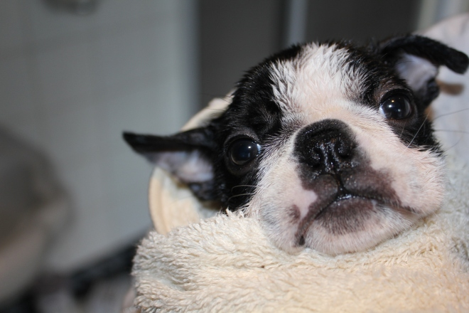Boston terrier puppy wrapped in a towel after a bath