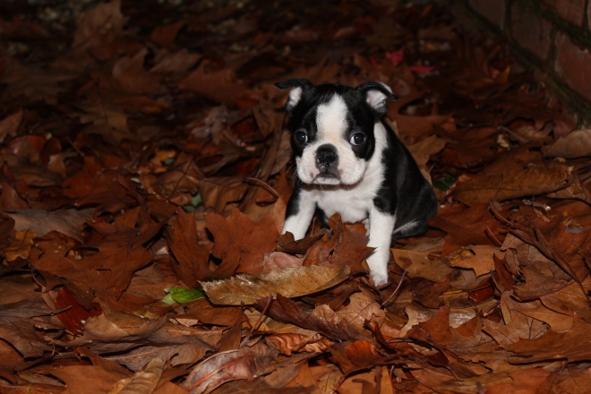 Boston terrier puppy sitting on autumn leaves